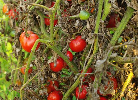 cuisiner tomates comment sauver les tomates du mildiou et cuisiner une