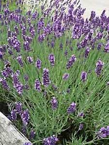 Echter Lavendel Kaufen : lavandula angustifolia 39 hidcote blue 39 echter lavendel g nstig kaufen ~ Eleganceandgraceweddings.com Haus und Dekorationen