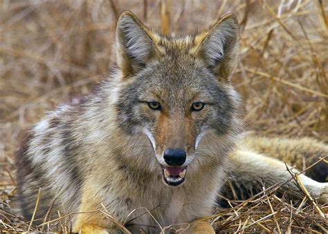 Images Of A Coyote 44 Coyote Jackal Animal Photos Hd Wallpapers