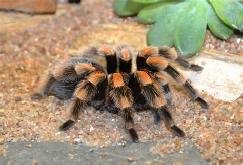 pet tarantula pet spider species