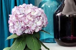 Hortensie Als Zimmerpflanze : hortensie ist zimmerpflanze des monats m rz farbenfroher ~ Lizthompson.info Haus und Dekorationen