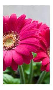 Best HD Wallpapers for Laptop 1080p with Pink Daisy Flower ...