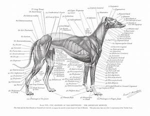 Greyhound Anatomy Diagram - The Muscles