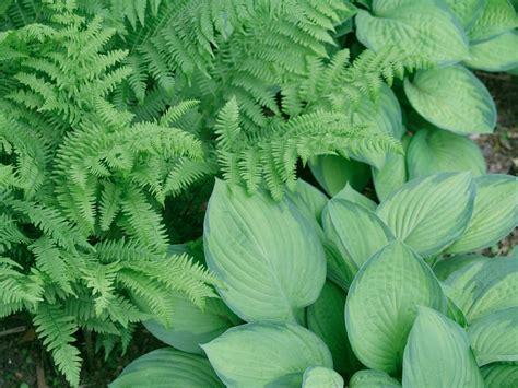 blue hosta plants diy