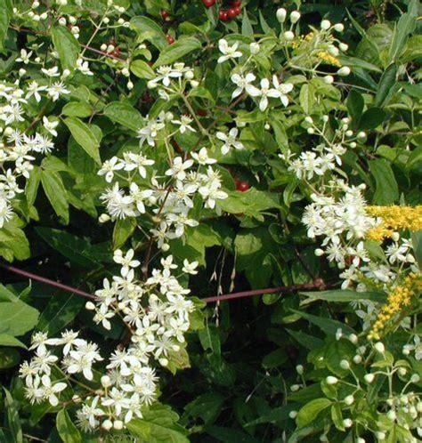17 Best Ideas About Climbing Flowering Vines On Pinterest