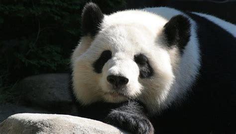 predators   giant panda animals momme