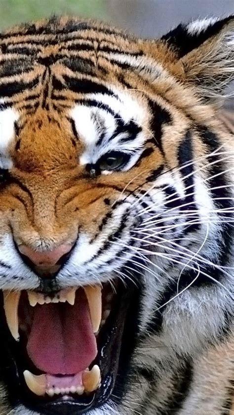 tiger roar animal wallpapers hd wallpaper backgrounds