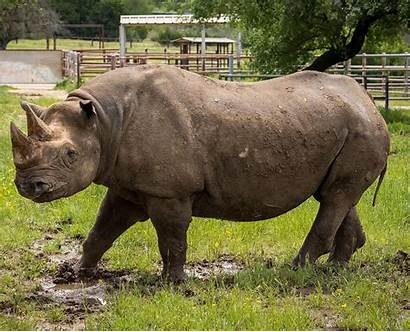 Rhinoceros Southern Animals Facts