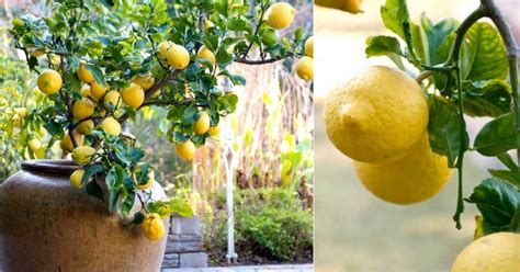 how to grow a lemon tree in a pot from a seed