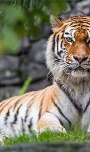 Tiger 4k Wallpapers - Wallpaper Cave
