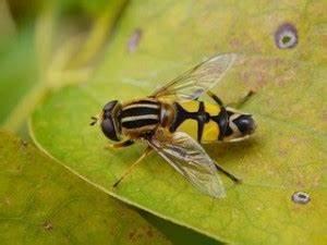 Wie Vertreibe Ich Wespen : tiere die wie wespen aussehen hallimasch mollymauk ~ Orissabook.com Haus und Dekorationen