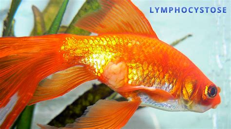 le site du poisson lymphocystose