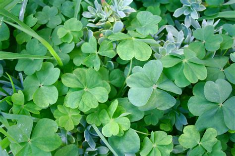 four leaf clover file four leaf and five leaf clovers jpg wikimedia commons