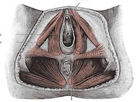 uterine prolapse physiopedia