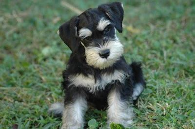 S Ys For Dogs Get To Know The Breeds Miniature Schnauzer