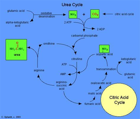 nitrogen balance protein metabolism lecture  bvetmed