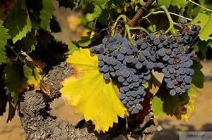 Achat Pied De Vigne Raisin De Table : pied de vigne cep ~ Nature-et-papiers.com Idées de Décoration