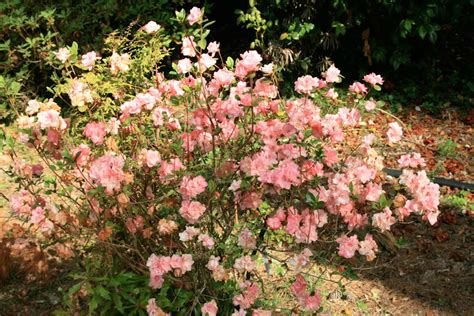 how to plant a rhododendron shrub rhododendron shrub