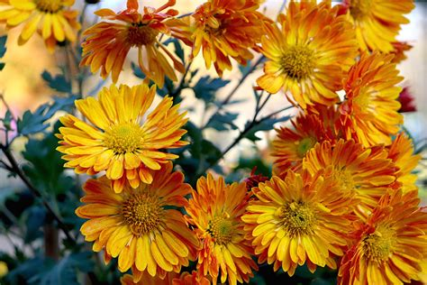 10 Different Types of Mums for Your Garden | Garden Savvy Blog
