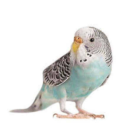 grreat choice crate pet birds for sale finches parakeets conures more