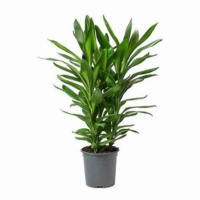 Plant Cordyline Ti Glauca Fruticosa Plants Indoor