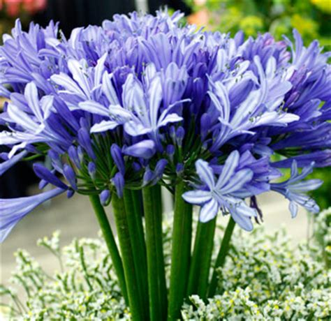 agapantha flower flowers planets agapanthus flowers