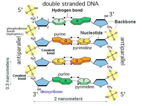 dna labeled double helix www pixshark com images