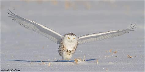 snowy owl the predator by daniel cadieux 500px