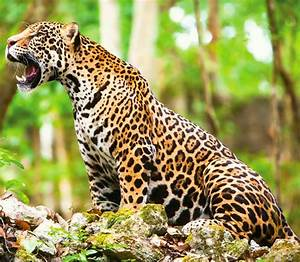 The majestic Jaguar | Private Mexico Tours