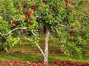 The Ramblesphere  Apple Tree