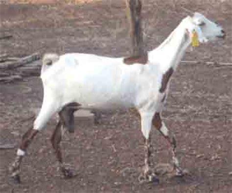 sahelian goat characteristics breed information modern