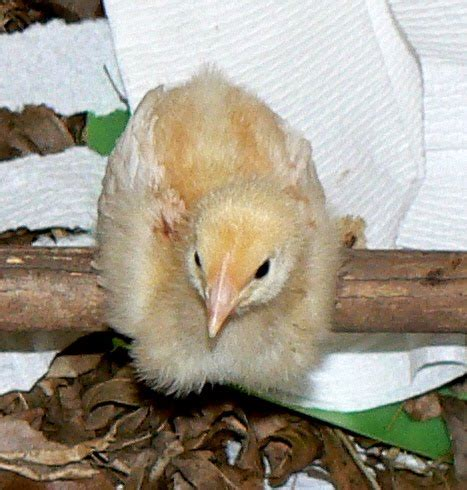 brood chicken expanded update