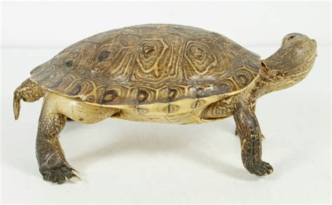 Taxidermy Home Decor: Vintage Real Full Size Taxidermy Turtle Rustic Cabin Home