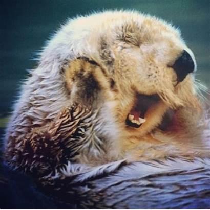 Otter Sea Yawning Wallpapers Otters Background Wallpapersafari