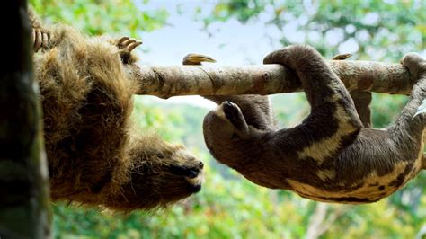 Spy In The Wild  'spy Sloth' Meets Real Sloth  Nature Pbs