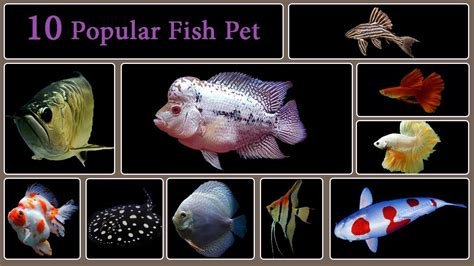 top  types  popular freshwater fish pet youtube