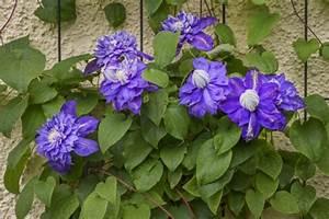 Rankhilfe Clematis Selber Bauen : clematis pflanzen pflegen schneiden ~ Lizthompson.info Haus und Dekorationen