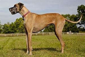 Great Dane Info, Temperament, Lifespan, Puppies, Pictures
