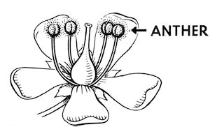insect pollination process diagram adaptations studycom