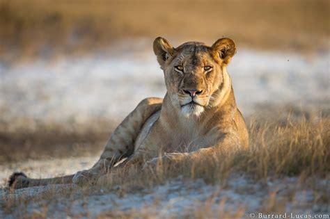 lioness burrard lucas photography