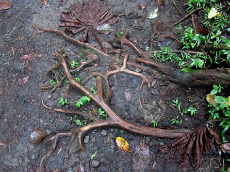 Tree Roots In Sewer Lines Have Solutions And Cures
