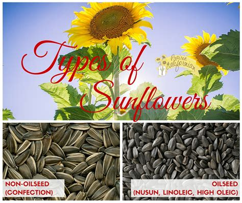 prairie style home types of sunflowers
