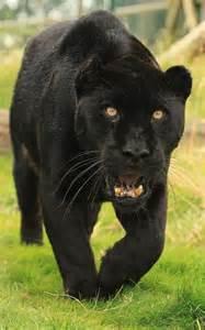 black panther cat black jaguar by tenpinphil just quot quot animals