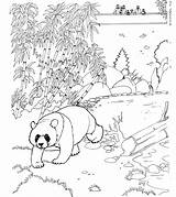 Panda Coloring Pages Bear Animals Habitat Animal Giant Zoo sketch template