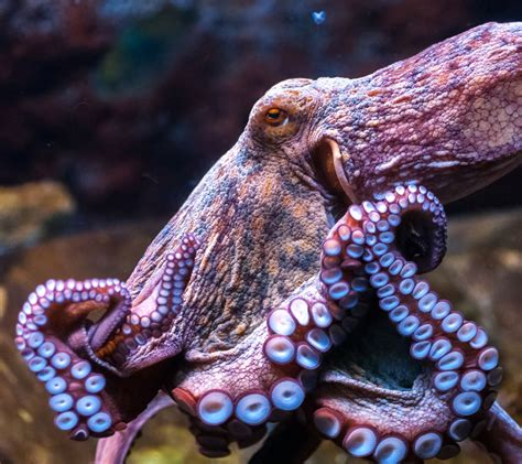 octopus common aquarium fish national zone malta