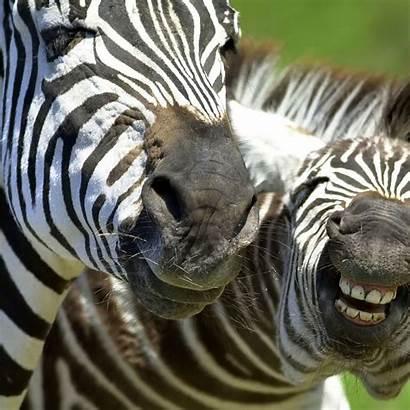 Animal Animals Funny Background Zebra Desktop Wallpapers