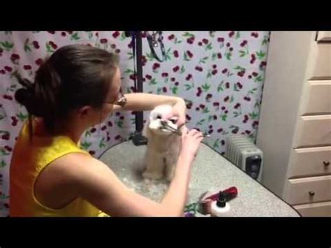 grooming teddybear head maltese youtube
