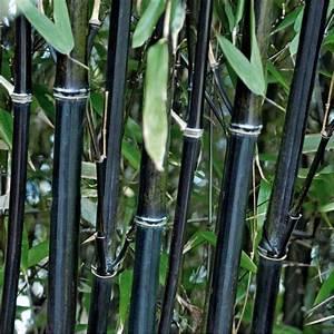 Bambou A Planter : phyllostachys nigra bambou noir ~ Premium-room.com Idées de Décoration