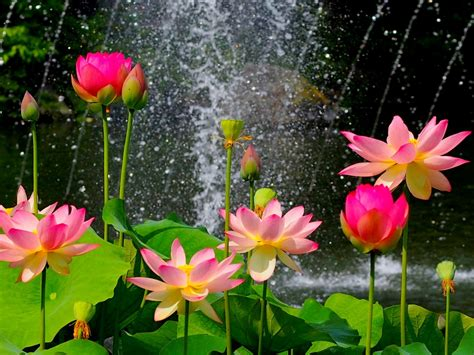 lotus flower wallpaper hd   pink lotus flower