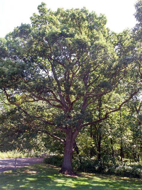 white oak chicago botanic garden